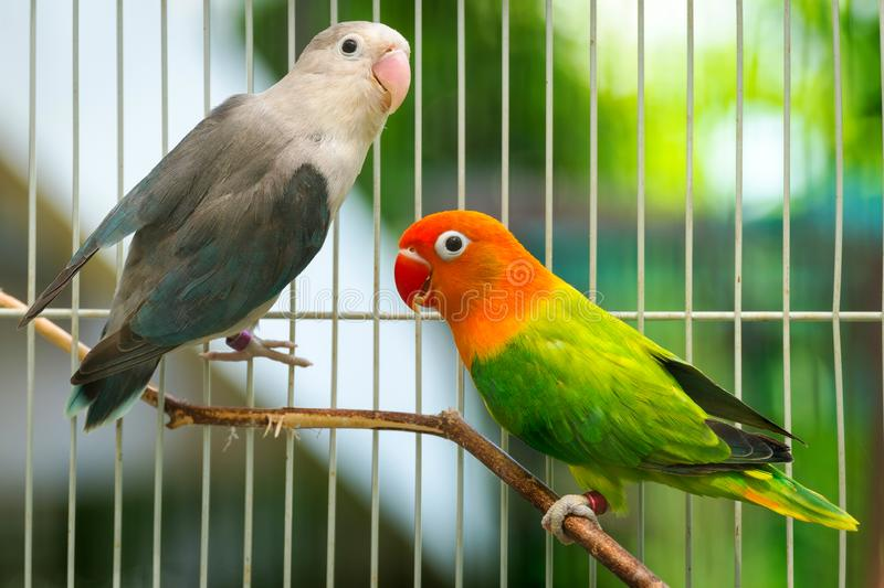 Cute and Beautiful Love Birds Couple in the Cage.  royalty free stock images