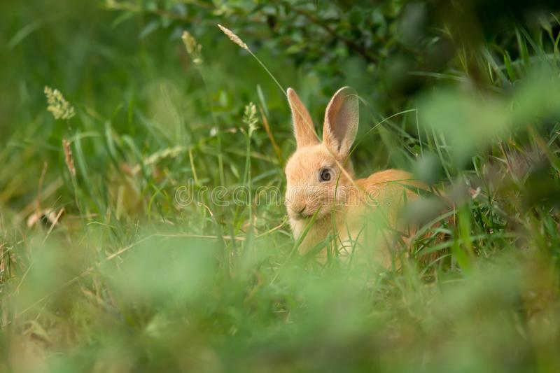 Cute beige rabbit in the grass stock image