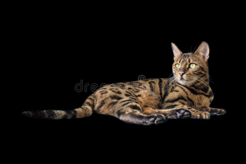 Cute Bengal cat lying down and looking away. Isolated on black background royalty free stock photos