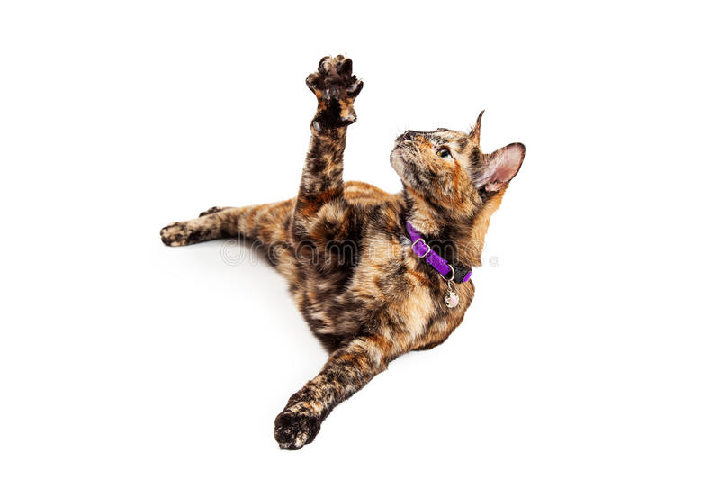 Cute Bengal Cat Raising Arm. A pretty young Bengal breed cat laying on his side and raising his arm up in the air to play royalty free stock photo