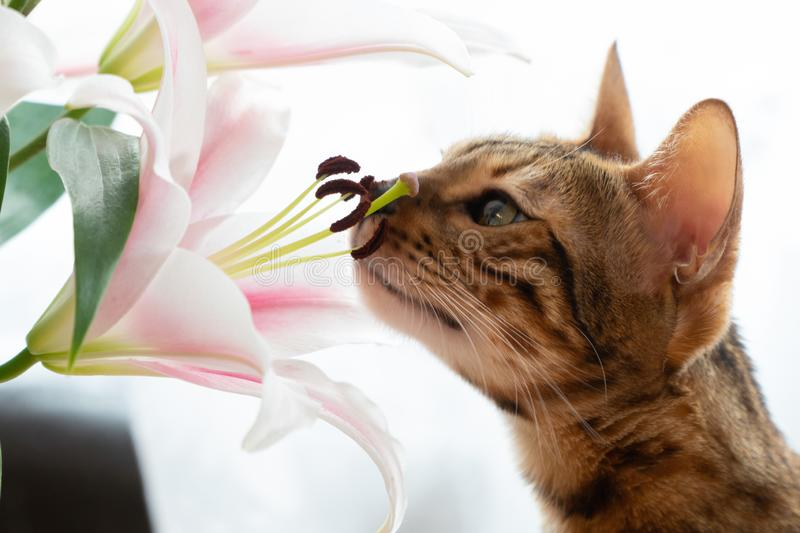 cute Bengal cat sniffs lilly flowers, close up royalty free stock image