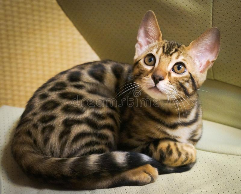 Cute bengal kitten lying on the chair stock image