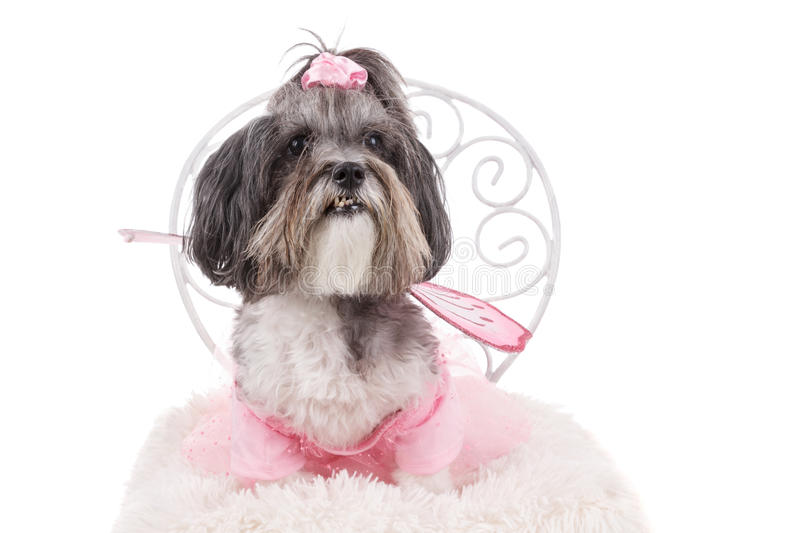 Cute dog, dressed like a fairy with wings for Halloween. Cute dog, dressed like a fairy with wings, sitting on a chair. Studio shot of a dog, wearing pink dress stock photos