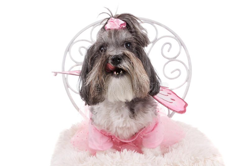 Cute Bichon Havanese dog, dressed up for Halloween stock photography