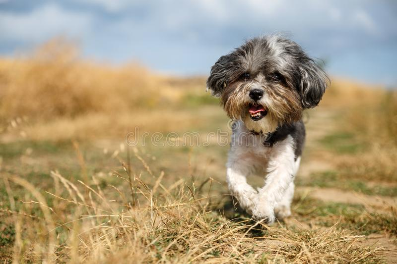 Cute Bichon Havanese dog with a summer haircut running happily against mowed wheat field. Selective focus on the eyes and shallow stock images