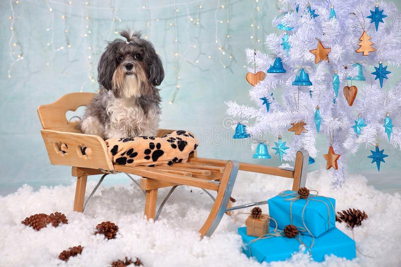 Cute Bichon Havanese dog on a wooden sled in a Christmas/New Year interior - artificial snow, white tree with wood and turquoise o royalty free stock photography