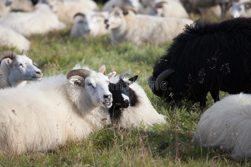 Cute big white and black ram sheeps in the herd with long horns looking at you close up. stock photos