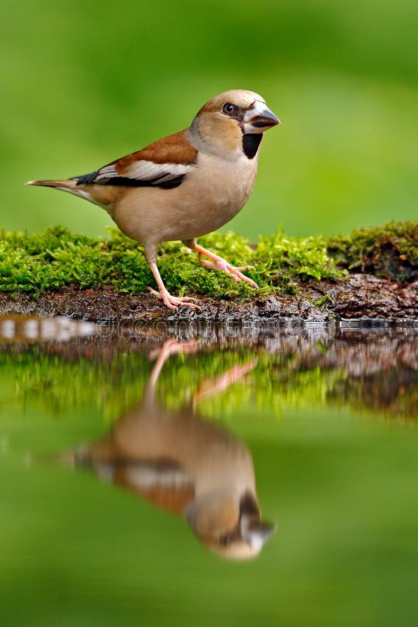Cute bird. Beautiful songbird, Hawfinch, in water mirror, brown songbird sitting in the water, nice lichen tree branch, bird in th royalty free stock photography