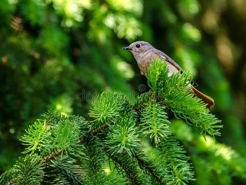 Cute bird on coniferous branch royalty free stock photo