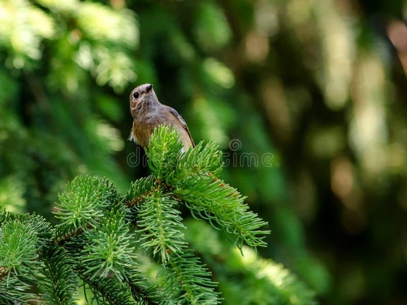 Cute bird on coniferous branch royalty free stock photos