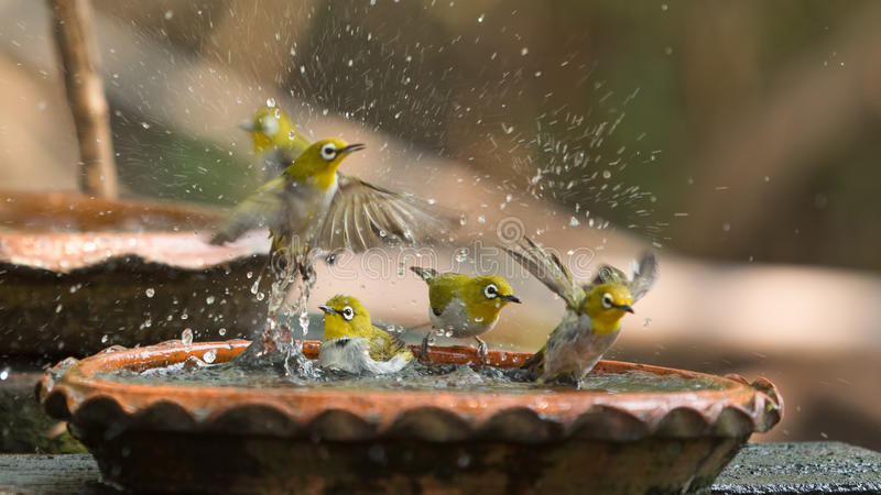 Cute birds bathe in a small pot. Cute Oriental White Eye Zosteropiade palpebrosus birds bathe in a small pot stock photography