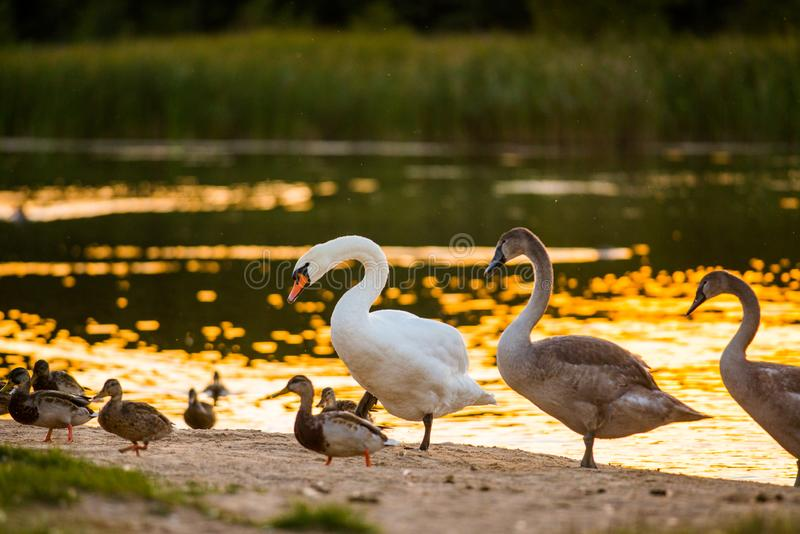 Cute birds near water. Summer evening, remarkable moment seeing big birds stock photos