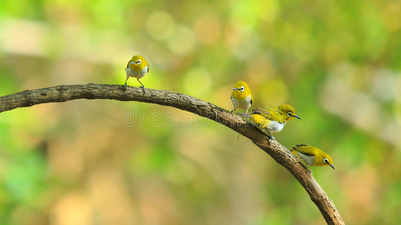 Cute birds. Cute Oriental White Eye Zosteropiade palpebrosus birds catch on stick with colorful forest background royalty free stock photography