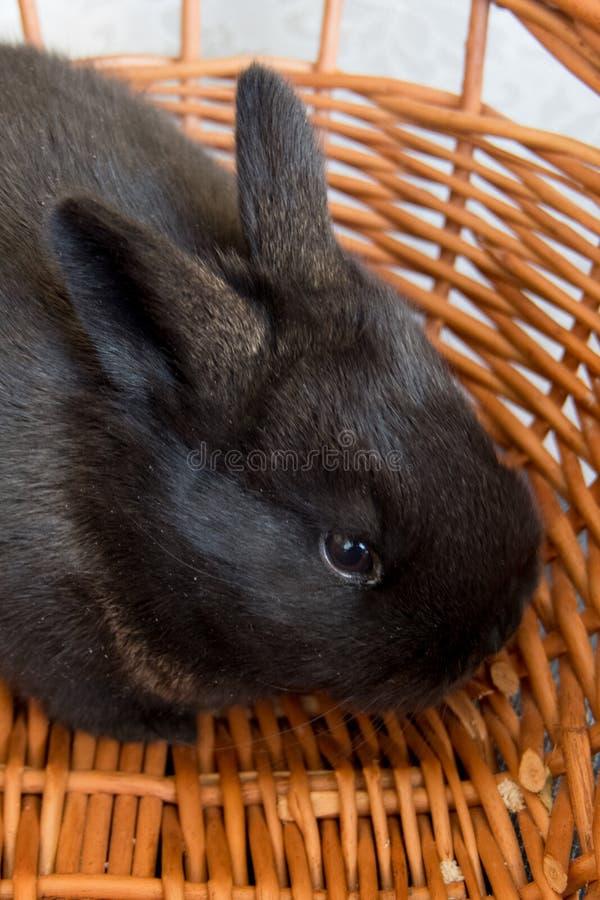 Cute black bunny, easter bunny, Moravia region, Czech Rebublic. Europe stock image