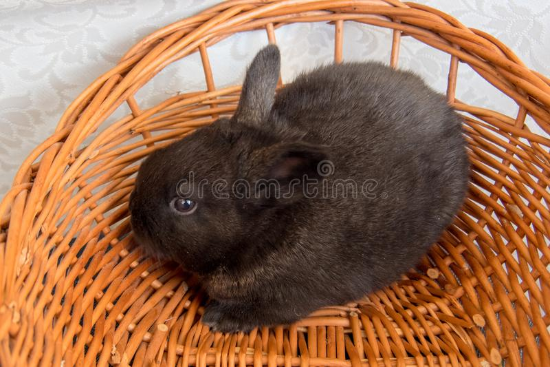 Cute black bunny, easter bunny, Moravia region, Czech Rebublic. Europe stock photo