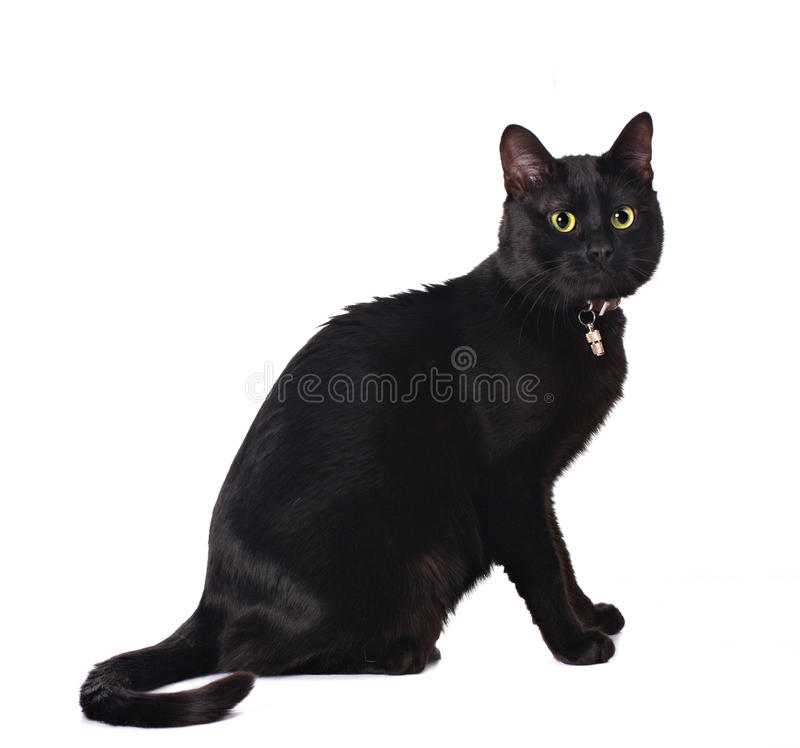 Download Cute black cat stock image. Image of adult, mammal, shot - 23979037