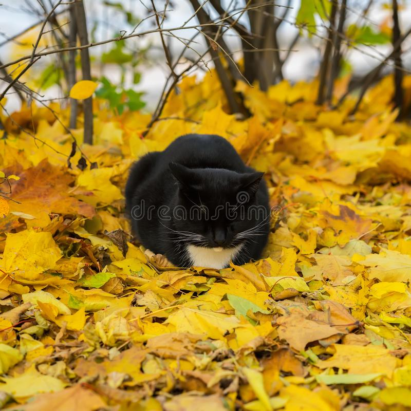 Cute black cat dozing, resting in the park on fallen bright leaves. Warm autumn sunny day. royalty free stock image