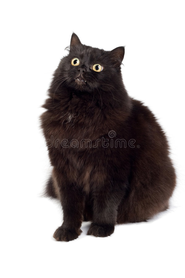 Cute black cat isolated. On white stock image
