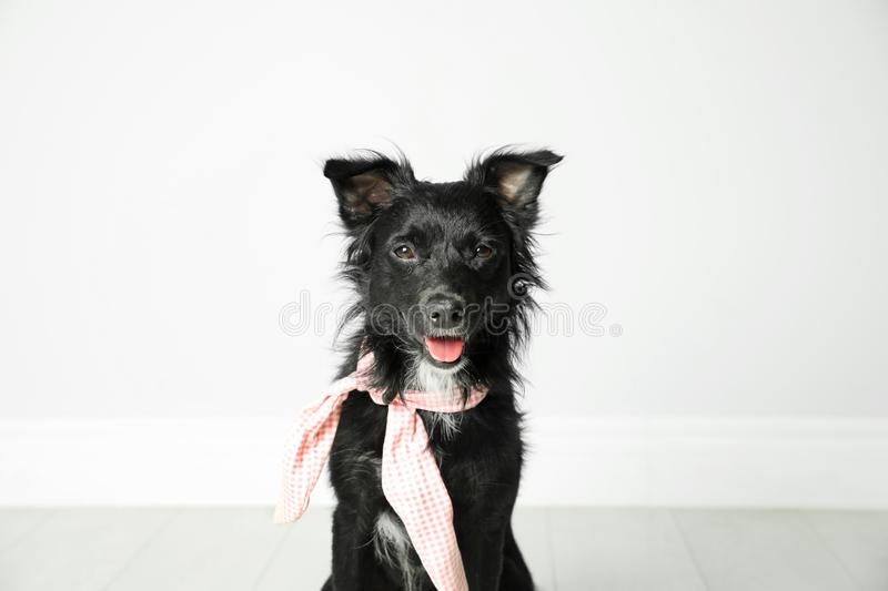 Cute black dog with neckerchief near light wall in stock image