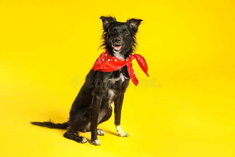 Cute black dog with neckerchief  on yellow background stock photo