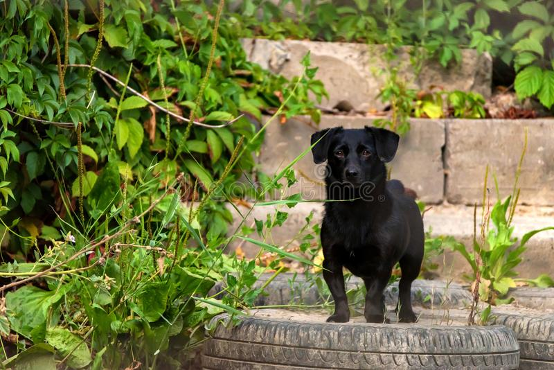 Cute black dog stands outside in nature. Adorable small black dog standing outside with green lants around. Lonely lost animal royalty free stock photography