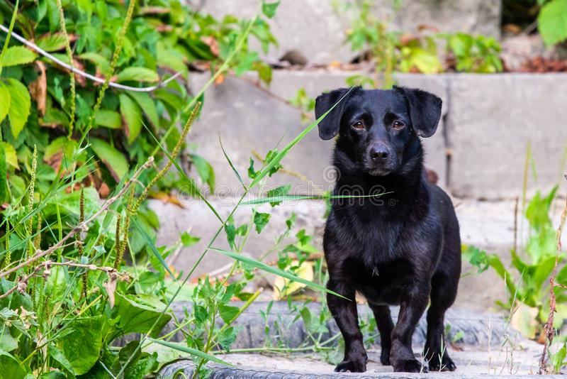 Cute black dog stands outside in nature royalty free stock images