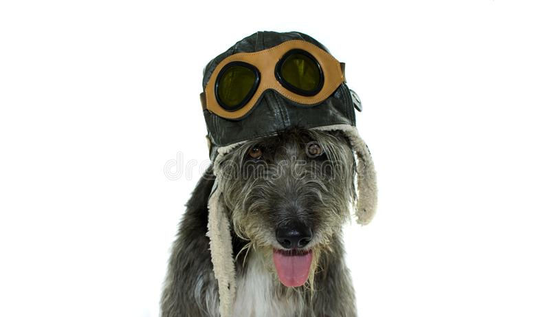 CUTE BLACK DOG WEARING AN AVIATOR HAT ISOLATED ON WHOTE BACKGROUND. HORIZOLTAL STUDIO SHOT WITH COPY SPACE stock image
