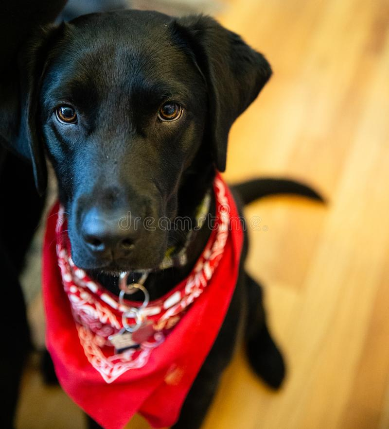 Cute Black Lab with Red Bandana. Photo of an obedient young black labrador dog sitting and wearing a collar and red bandana stock images