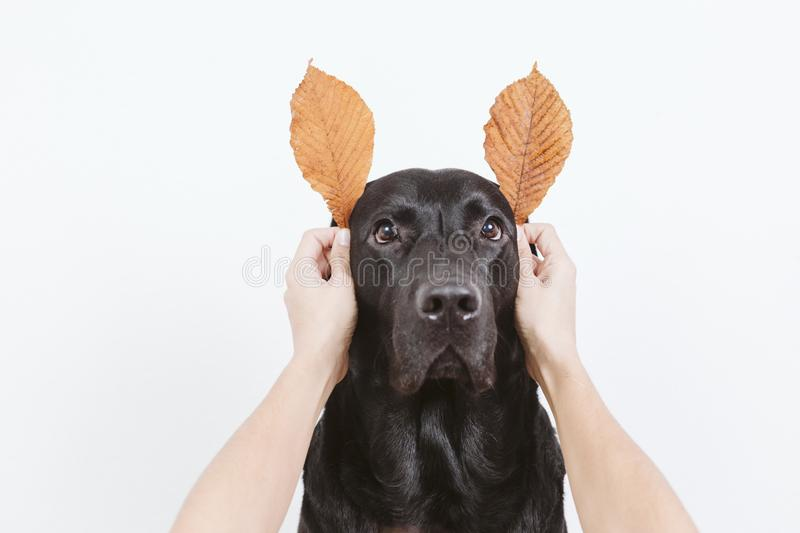 cute black labrador dog with funny autumn brown leaves for ears. dog looking at the camera. Pets indoors royalty free stock image