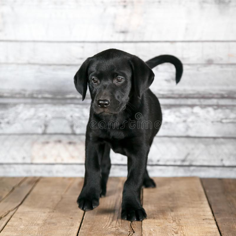 Cute Black Labrador Puppy royalty free stock images