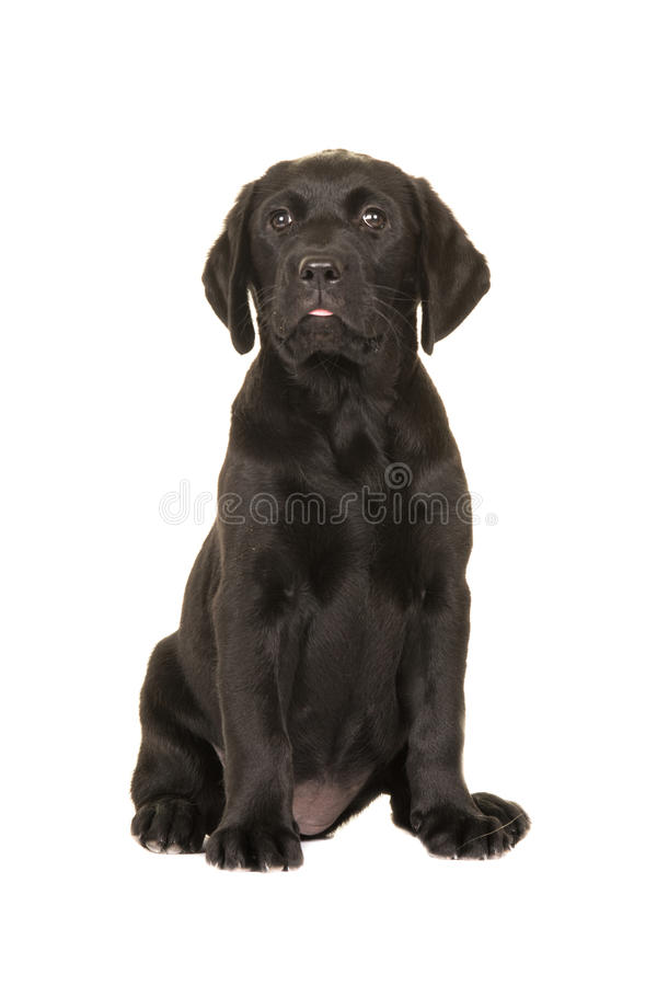 Good Labrador Black Adorable Dog - cute-black-labrador-puppy-dog-sitting-down-facing-camera-isolated-white-background-58512270  Pictures_817632  .jpg