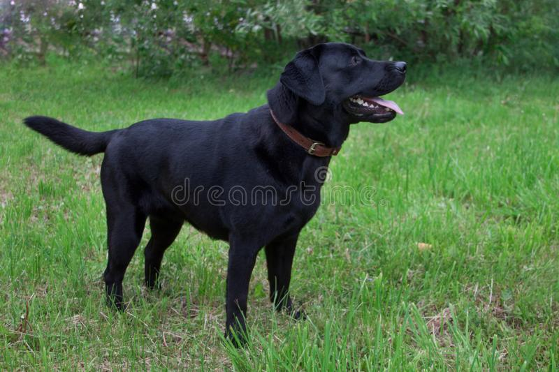 Cute black labrador retriever is standing on a green meadow. Pet animals. royalty free stock photography