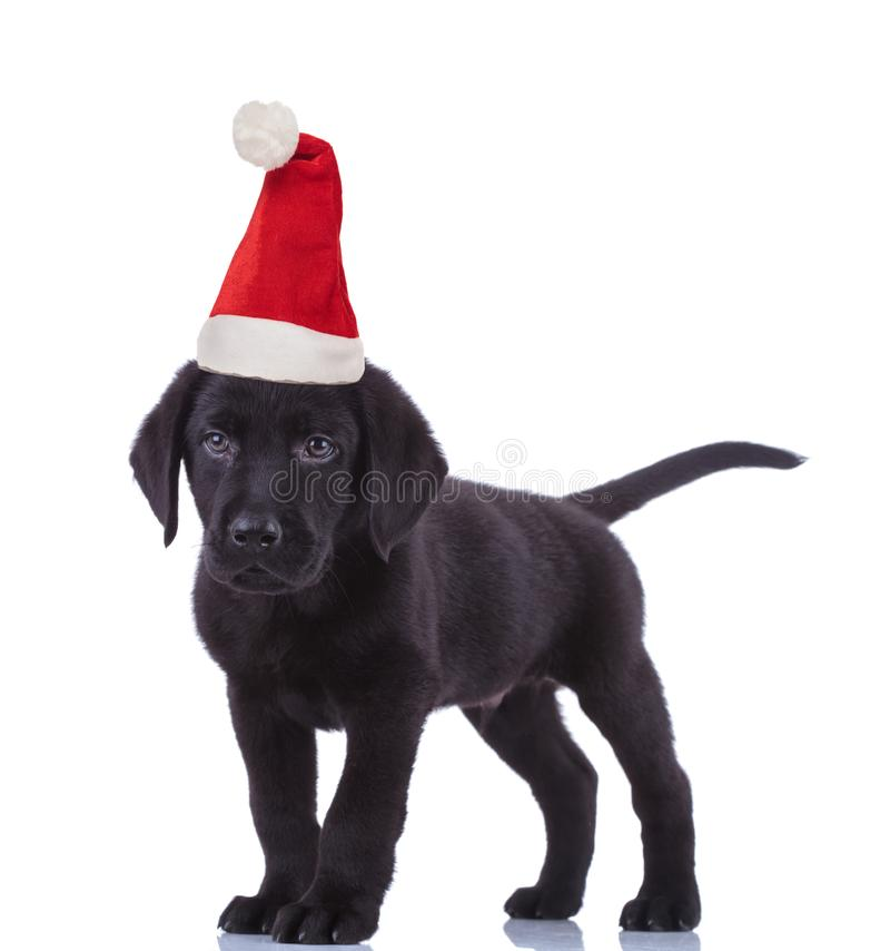 Cute black labrador retriever wearing santa claus hat for christmas stock photo