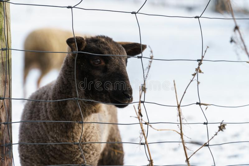 Cute black lamb with a sad look royalty free stock images