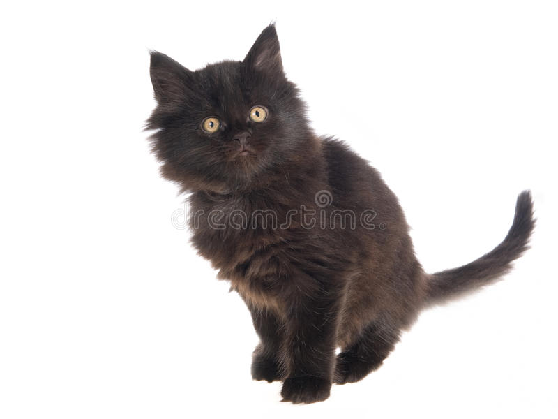 Cute black Maine Coon kitten on white bg royalty free stock photos
