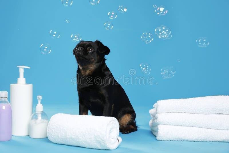 Cute black Petit Brabancon dog, bath accessories and bubbles stock photography