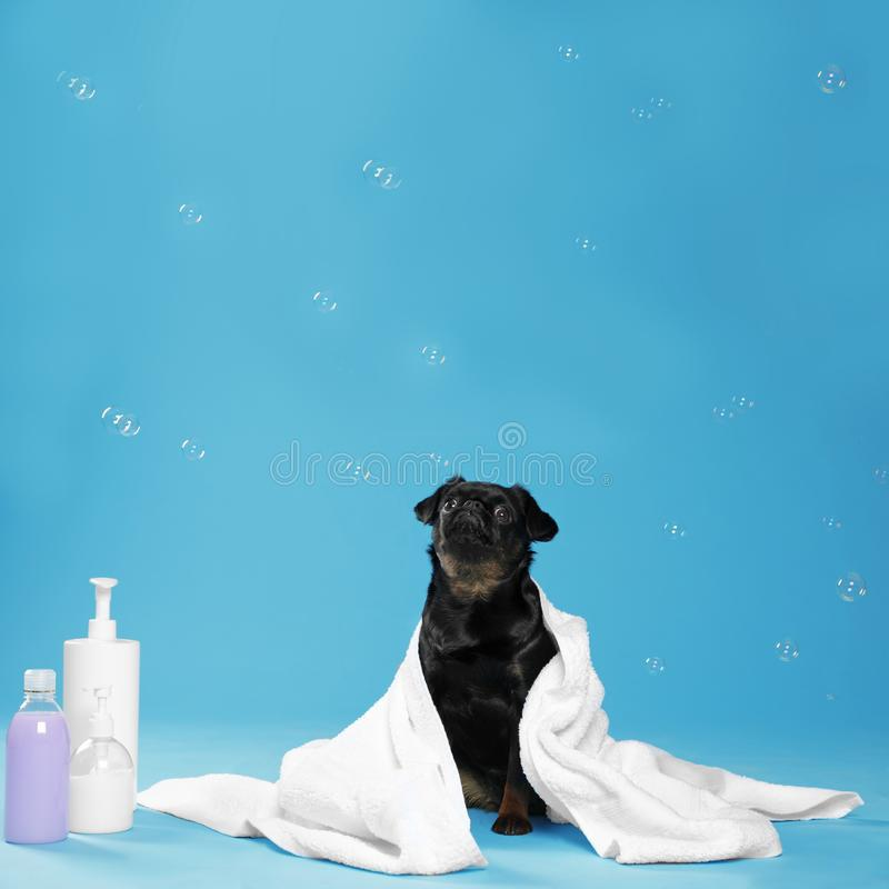 Cute black Petit dog, bath accessories and bubbles on light blue background. Cute black Petit Brabancon dog, bath accessories and bubbles on light blue royalty free stock images