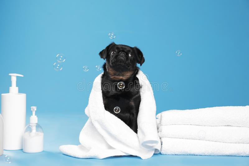 Cute black Petit Brabancon dog with towel, bath accessories and bubbles on light royalty free stock image