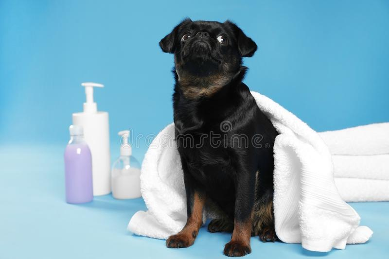 Cute black Petit Brabancon dog with towel, bath accessories and bubbles on blue background royalty free stock image