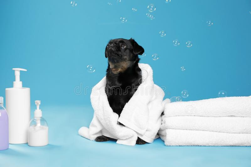 Cute black Petit Brabancon dog with towel, bath accessories and bubbles on light blue stock images