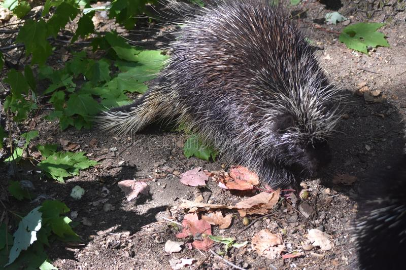 Cute black porcupine walking through some leaves. Adorable prickly porcupine with large quills stock photo