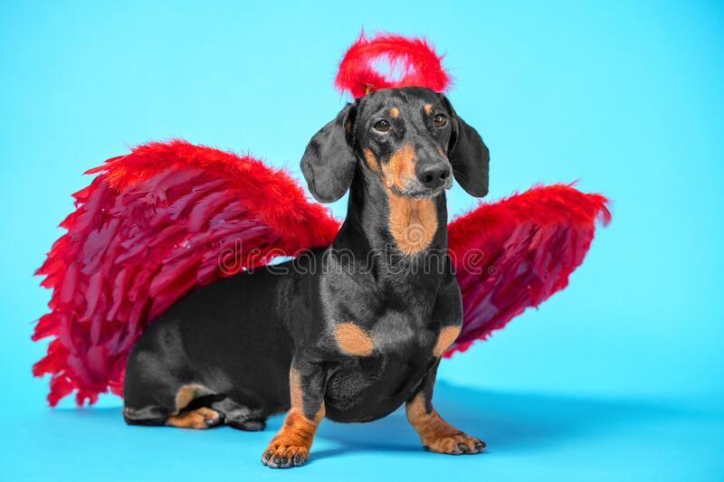 Cute black and tan dachshund sitting on bright blue background with crimson red feathered wings on the back and halo under the fotografia stock
