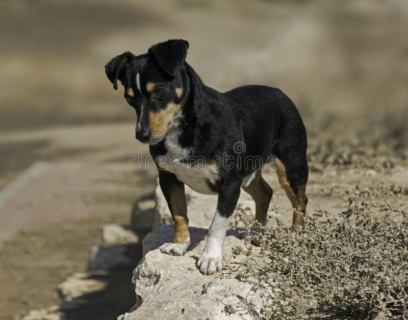 Adorable Black and Tan Dachshund Mix Dog Standing Alertly on a Stone Wall. Cute black and tan doxie pin dog standing on a wall looking intently at something royalty free stock images