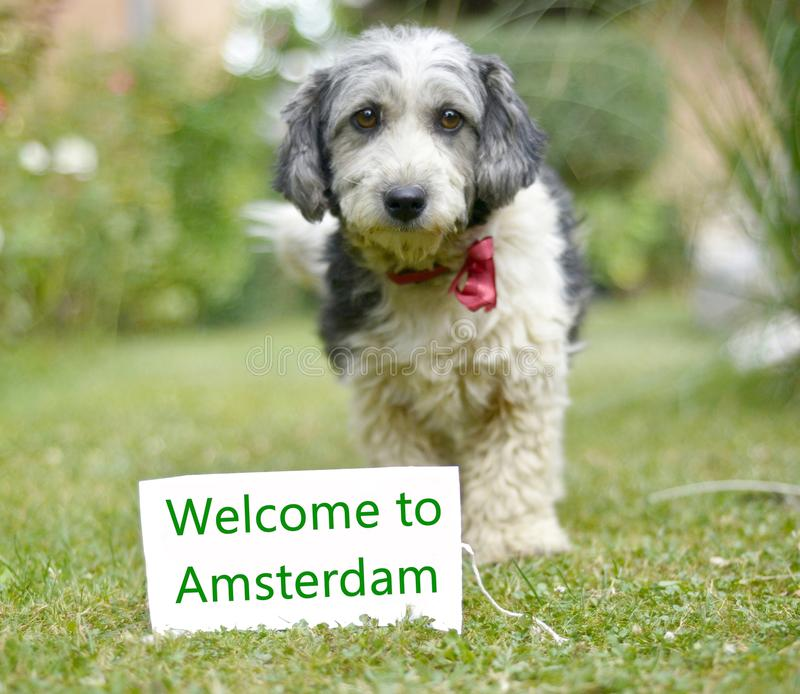 The cute black and white adopted dog. Picture of a The cute black and white adopted stray dog on a green grass. focus on a head of dog. Text amsterdam royalty free stock images