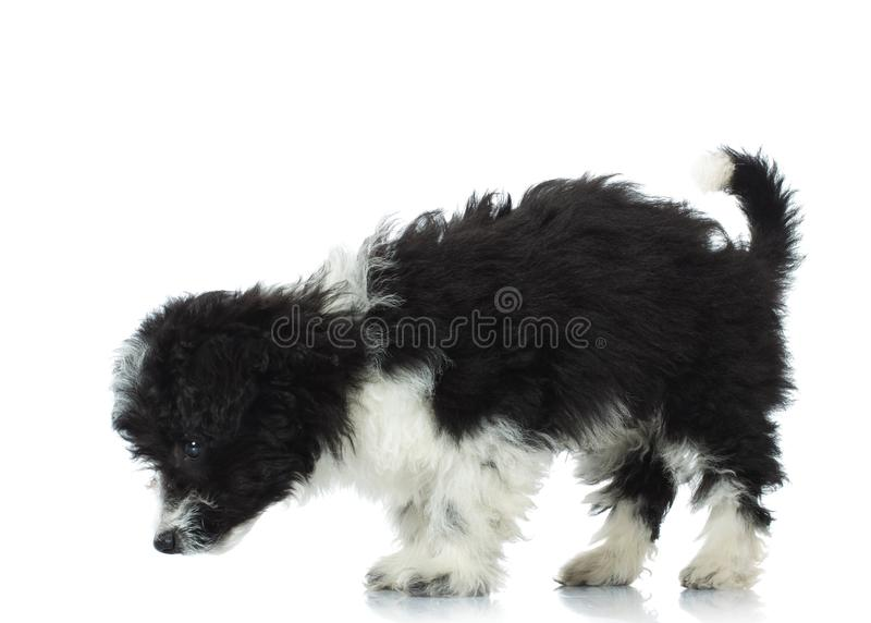 Cute bichon havanese picks up a scent royalty free stock photos