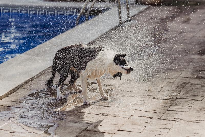Cute black and white border collie a cute dog playing at the pool and having a good time during the summer vacation holidays. Shaking water off and flying stock images