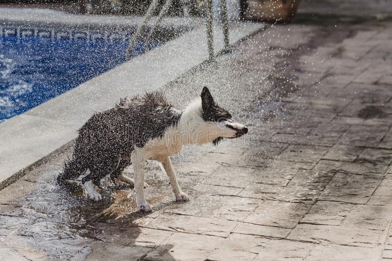 Cute black and white border collie a cute dog playing at the pool and having a good time during the summer vacation holidays. Shaking water off and flying stock photography
