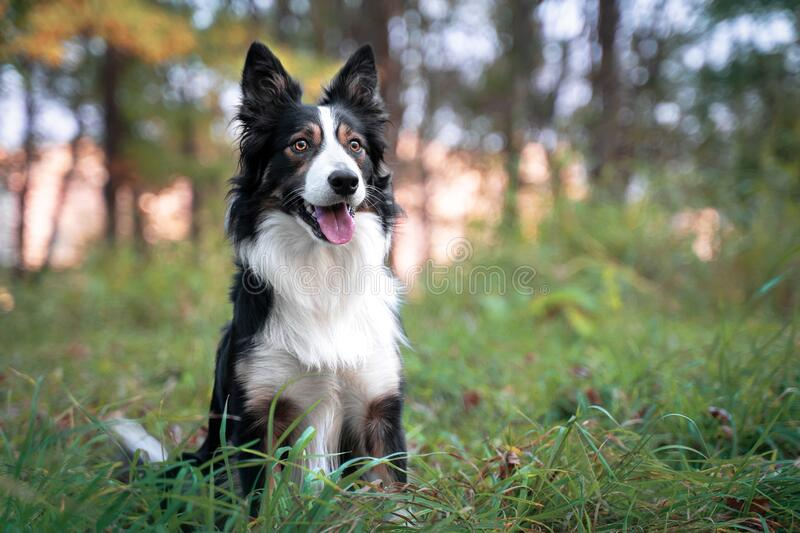 Cute black and white border collie dog with tongue sticking out lying down in green grass. Summer day in a meadow.  stock image