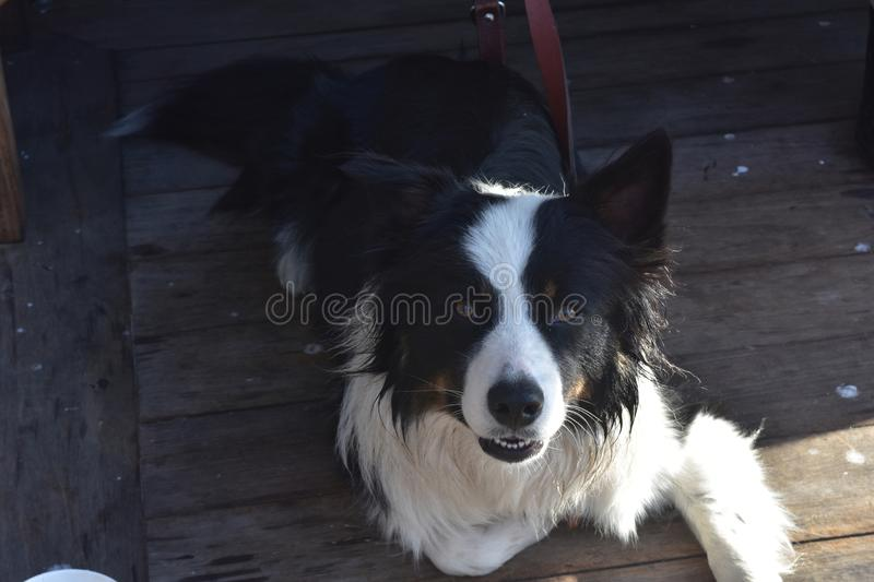 Cute black and white border collie looking up stock photography