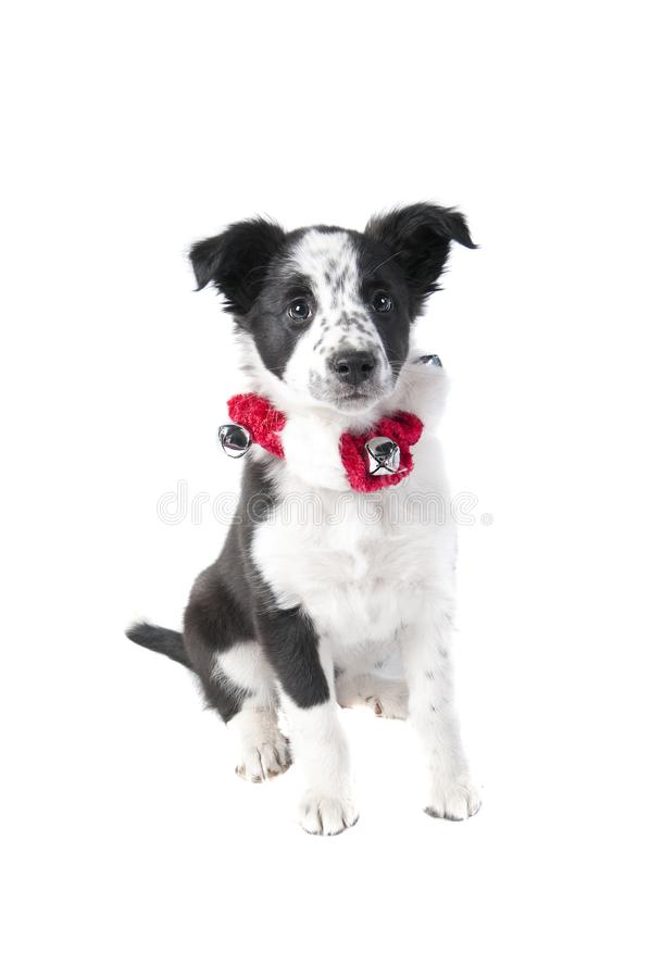 Border Collie Dog in Holiday Christmas Attire isolated on white. Cute Black and White Border Collie Puppy Dog in Christmas Holiday collar isolated on white royalty free stock photos